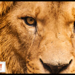 How to See Life through the Eyes of a Lion